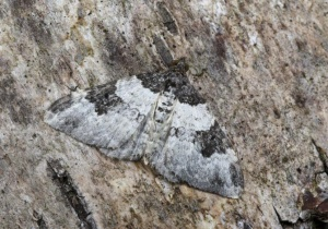 IN-0558 Garden Carpet Moth