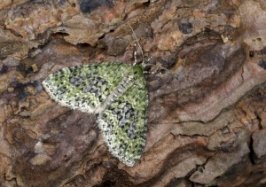IN-0559 Yellow-barred brindle moth
