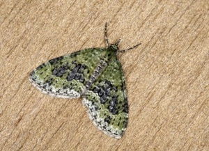 IN-0560 Yellow-barred brindle moth