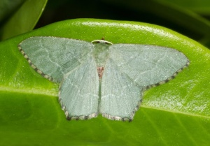 IN-0563 Common Emerald Moth