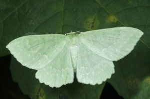 IN-0565 Large emerald moth