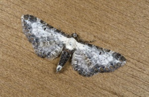 IN-0568 Bordered Pug Moth