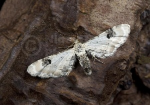 IN-0569 Lime-speck pug moth