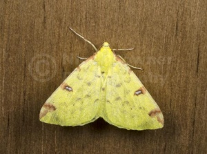 IN-0570 Brimstone Moth