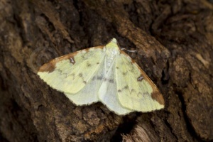 IN-0571 Brimstone moth