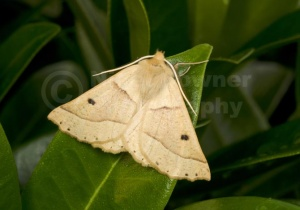 IN-0572 Scalloped oak moth