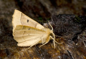 IN-0573 Scalloped oak moth