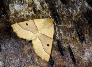 IN-0574 Scalloped oak moth