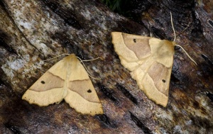 IN-0575 Scalloped oak moths