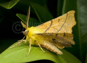 IN-0576 Canary-shouldered thorn moth