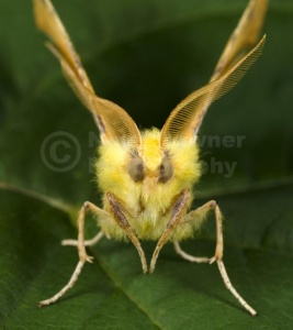 IN-0577 Canary-shouldered thorn moth