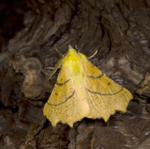 IN-0579 Canary-shouldered thorn moth