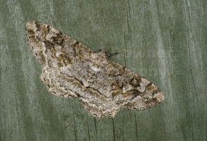 IN-0580 Mottled beauty moth
