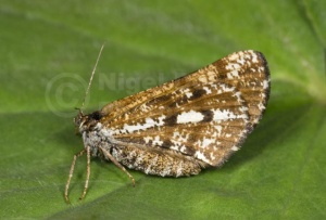 IN-0581 Bordered white moth