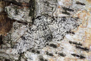 IN-0582 Peppered moth