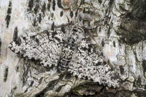 IN-0583 Peppered moth