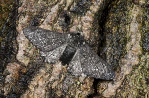 IN-0585 Peppered moth