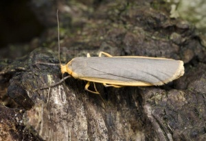 IN-0588 Common footman moth