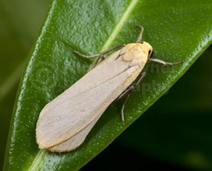 IN-0589 Buff footman moth