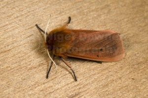 IN-0593 Ruby tiger moth