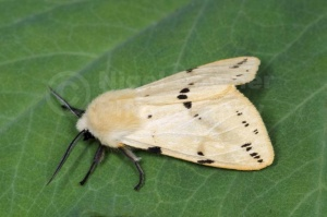 IN-0594 Buff ermine moth