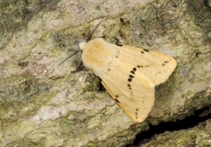 IN-0595 Buff ermine moth