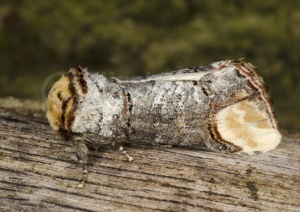 IN-0597 Buff-tip moth