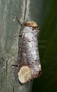 IN-0599 Buff-tip moth