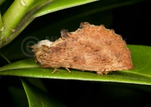 IN-0601 Coxcomb prominent moth