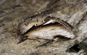 IN-0602 Lesser swallow prominent