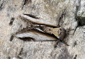 IN-0603 Lesser swallow prominent
