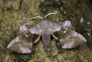IN-0617 Poplar hawk-moth