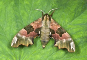 IN-0618 Lime hawk-moth