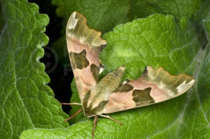 IN-0619 Lime hawk-moth