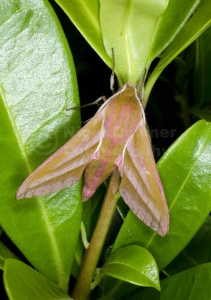 IN-0622 Elephant hawk-moth