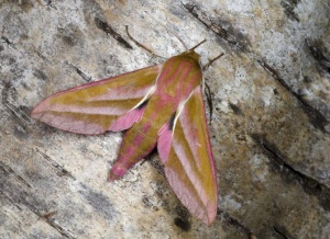 IN-0624 Elephant hawk-moth