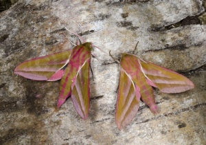 IN-0625 Elephant hawk-moths