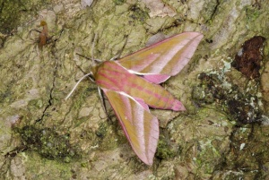 IN-0626 Elephant hawk-moth
