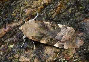 IN-0630 Large yellow underwing moth