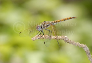 IN-0300 Yellow-winged darter or Yellow-winged sympetrum