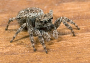 OI-0010 Jumping spider