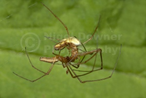 OI-0013 Long-jawed orb-weever spiders mating