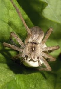 OI-0027 Hunting spider or Nursery web spider