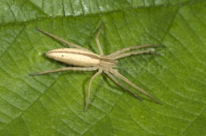 OI-0030 Oblong running crab spider