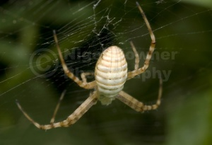 OI-0033 Banded argiope