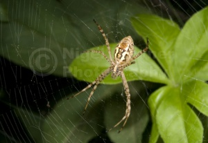 OI-0034 Banded argiope