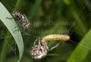 OI-0038 Foliate spider with prey and flesh-fly