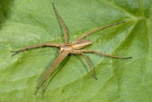 OI-0040 Hunting spider or Nursery web spider