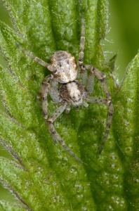 OI-0042 House crab spider