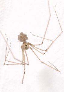 OI-0052 Cellar spider or Daddy long-legs spider